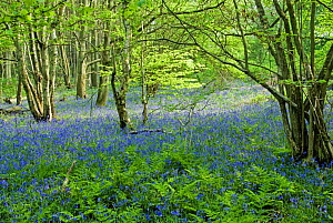 Bluebell (Hyacinthoides non-scripta) in coppiced wood in spring, Surrey, England.  -  Adrian Davies