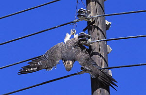 Lanner falcon {Falco biarmicus} dead, with jesses caught in electrical wires, Sohar, Oman  -  Hanne & Jens Eriksen