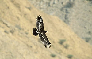 Greater spotted eagle {Aquila clanga}  juvenile in flight over mountains near Muscat, Oman - Hanne & Jens Eriksen