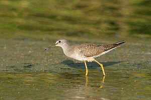 Lesser yellowlegs {Tringa flavipes} winter plumage, Muscat, Oman  -  Hanne & Jens Eriksen