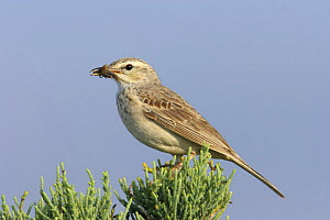 Long billed pipit {Anthus similis} perched in bush, with food, Diham, Socotra Island, Yemen  -  Hanne & Jens Eriksen