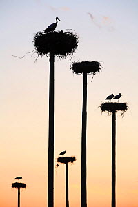 Silhouette of White storks {ciconia ciconia} nesting on purpose-built poles, Malpartida de Caceres, Extremadura, Spain Note - relocated after construction of hotel  -  Jose B. Ruiz