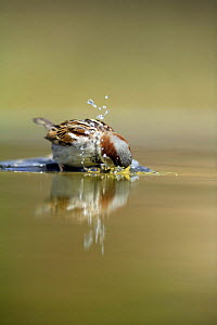 Common sparrow {Passer domesticus} bathing in water, Moralet, Alicante, Spain  -  Jose B. Ruiz