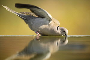 Collared dove {Streptopelia decaocto} drinking from bird bath, Moralet, Alicante, Spain - Jose B. Ruiz