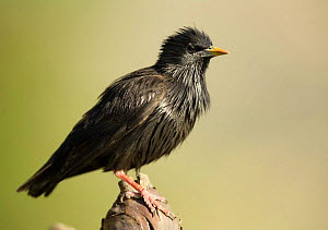 Spotless starling {Sturnus unicolor} Moralet, Alicante, Spain  -  Jose B. Ruiz