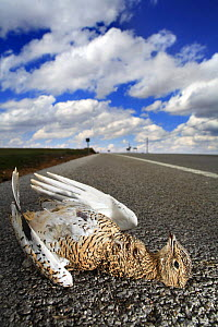 Female Little bustard {Tetrax tetrax} dead on side of road, killed by car, La Serena, Badajoz, Extremadura, Spain - Jose B. Ruiz