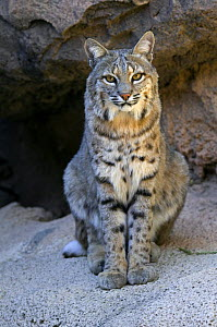 American Bobcat (Lynx rufus / Felis rufus) portrait, sitting in front of cave. Arizona, USA. Captive.  -  Philippe Clement