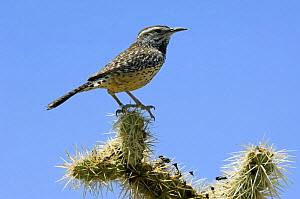 Cactus wren (Campylorhynchus brunneicapillus) perched on Chain fruit / Jumping cholla (Cylindropuntia fulgida). Organ Pipe Cactus National Monument, Arizona, USA  -  Philippe Clement