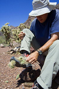 Chain fruit / Jumping cholla (Opuntia / Cylindropuntia fulgida) fruit being removed from shoe of hiker. Organ Pipe Cactus National Monument, Arizona, USA  -  Philippe Clement