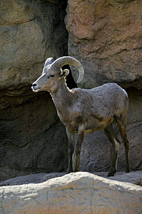 Male Nelson's / Desert Bighorn (Ovis canadensis nelsoni) standing in rock face. Arizona, USA. Captive.  -  Philippe Clement