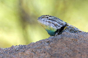 Desert spiny lizard (Sceloporus magister) male showing throat in mating season colours. Saguaro National Park, Arizona, USA  -  Philippe Clement
