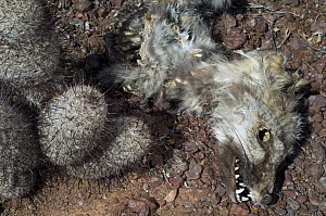 Eastern Grey fox (Urocyon cinereoargenteus) carcass and Cactus. Victim of extreme drought in the Sonoran Desert. Organ Pipe Cactus National Monument, Arizona, USA  -  Philippe Clement