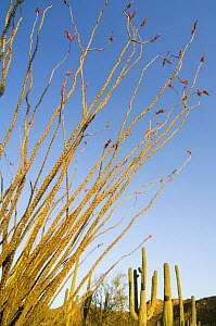 Ocotillo (Fouquieria splendens) in flower. Organ Pipe Cactus National Monument, Arizona, USA  -  Philippe Clement
