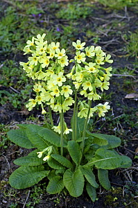 Oxlip (Primula elatior) in flower. France - Philippe Clement