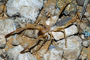 Sun / Windscorpion spider (Solifugae sp.). Organ Pipe Cactus National Monument, Arizona, USA  -  Philippe Clement