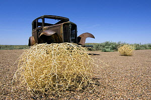 Prickly Russian Thistle / Tumbleweed (Salsola tragus / Salsola iberica) and rusty old car. Arizona, USA 2007  -  Philippe Clement