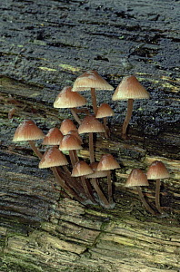 Gregarious elf cap fungus {Mycena inclinata} on rotten wood, UK  -  George McCarthy