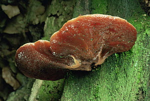 Beef steak fungus {Fistulina hepatica} UK  -  George McCarthy