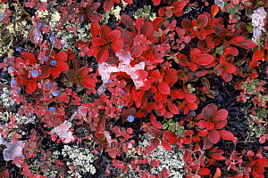 Bearberry {Arctostaphylos sp} and Blueberry {Vaccinium sp} plants with red leaves and berries amongst ice, Denali NP, Alaska, USA  -  Lynn M Stone