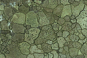 Map lichen {Rhizocarpon geographicum} on stone,  Galway, Ireland  -  George McCarthy