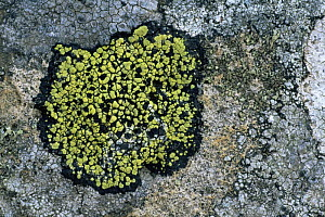 Map lichen {Rhizocarpon sp} on stone, Wales, UK  -  Geoff Scott-Simpson