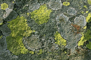 Map lichen {Rhizocarpon sp} on stone, Snowdonia, Wales, UK  -  Jason Smalley