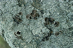 Lichen {Hypogymnia physodes} growing on granite stone, Alps, Italy  -  Elio Della Ferrera