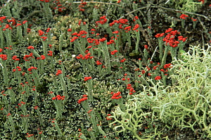 Lichens {Cladonia floerkeana} and {Cladonia portentosa} with fruiting bodies, Dorset, UK - GRAHAM HATHERLEY