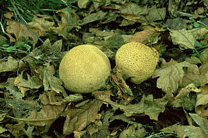 Common earthball fungus {Scleroderma citrinum} UK - George McCarthy