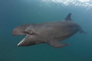 False killer whale ( Pseudorca crassidens ) with mouth open, showing large conical teeth, captive, aquarium, from Indo-pacific, digitally manipulated  -  Doug Perrine