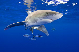 Oceanic whitetip shark (Carcharhinus longimanus) with pilot fish (Naucrates ductor) Kona Coast, Hawaii, Central Pacific Ocean - Doug Perrine