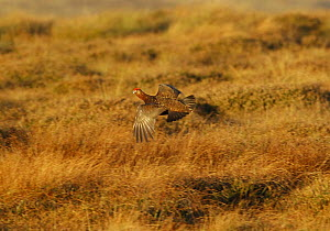 Red Grouse {Lagopus lagopus scoticus} flying over Yorkshire Dales National Park, UK - Mike Potts