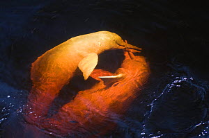 Amazon river dolphin, pink river dolphin or boto (Inia geoffrensis) Rio Negro, Brazil (Amazon) - two wild animals fighting over fish Threatened species (IUCN Red List) - Mark Carwardine