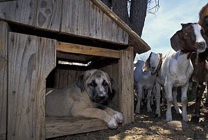 Anatolian puppy (Canis familiaris) in kennel watching domestic goats. Namibia. East Africa. Ref: Cheetah Conservation Fund  -  Andrew Harrington