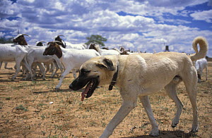 Anatolian Shepherd dog (Canis familiaris) guarding livestock from Cheetah (Acinonyx jubatus) predation. Namibia, East Africa. Ref: Cheetah Conservation Fund.  -  Andrew Harrington