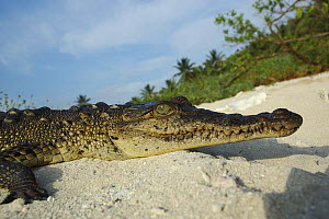 American saltwater crocodile {Crocodylus acutus} basking on sand Blackbird Cay, Turneffe Atoll, Belize  -  Simon Williams