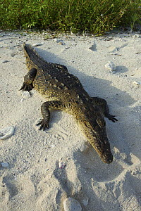 American saltwater crocodile {Crocodylus Acutus} basking on sand, Blackbird Cay, Turneffe Atoll, Belize  -  Simon Williams