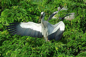 Aisian / Open billed stork {Anastomus oscitans} with wings open, basking in morning sun, Bengal, India  -  Simon Williams