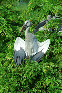 Asian / Open billed stork {Anastomus oscitans} with wings open basking in the morning sun, Jayanagar, West Bengal, India  -  Simon Williams