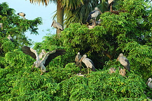 A colony of Asian / Open billed storks {Anastomus oscitans} in Jayanagar, West Bengal, India  -  Simon Williams