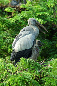 Open billed stork {Anastomus oscitans} with chicks, Jayanagar, West Bengal, India  -  Simon Williams