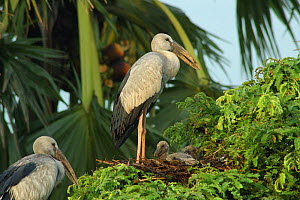 An open billed {Anastomus oscitans} stork with chicks, Jayanagar, West Bengal, India  -  Simon Williams