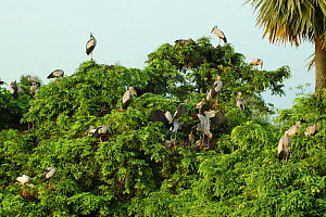 Open billed stork nesting colony {Anastomus oscitans}, Jayanagar, West Bengal India  -  Simon Williams