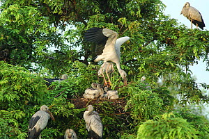 Open billed stork {Anastomus oscitans} returns to nest and chicks with nesting material and a crop full of apple snails, Bengal, India  -  Simon Williams