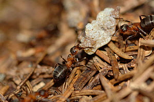 Two Wood ants {Formica paralugubris} carrying resin to nest, Jura Mountains, Switzerland  -  Simon Williams