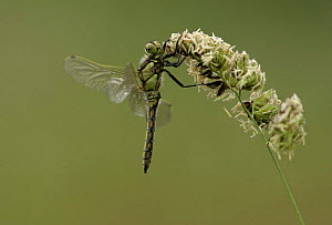 Adult black-tailed skimmer (Orthetrum cancellatum), resting on grass head, Derbyshire, UK  -  Paul Hobson