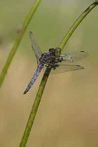 Adult male black-tailed skimmer (Orthetrum cancellatum) resting on stem, Derbyshire, UK  -  Paul Hobson