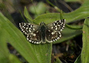 Grizzled Skipper butterfly (Pyrgus malvae) adult on ground, S. Yorks, UK - Paul Hobson