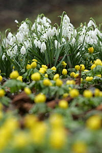 Snowdrop flowers (Galanthus nivalis) and Winter aconite (Eranthis sp), Peak District NP, UK - Paul Hobson