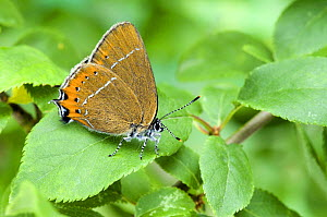 Black Hairstreak Butterfly (Satyrium pruni) at rest with wings closed on Blackthorn. UK. Captive.  -  Andy Sands